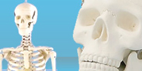 Anatomical Models | Anatomy Teaching Models | Human Anatomy Models